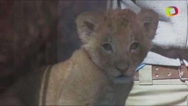 Un zoológico de NY presenta nuevo cachorro de león africano