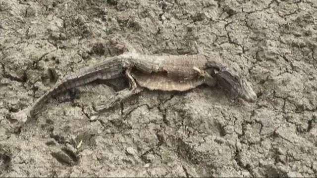 Buscan salvar a caimanes al borde de la muerte por la falta de agua en Paraguay