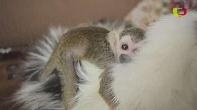 gatita adopta a bebé de mono abandonado por su madre