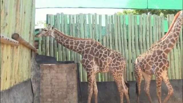 Búfalos, jirafas y cebras a subasta en Sudáfrica