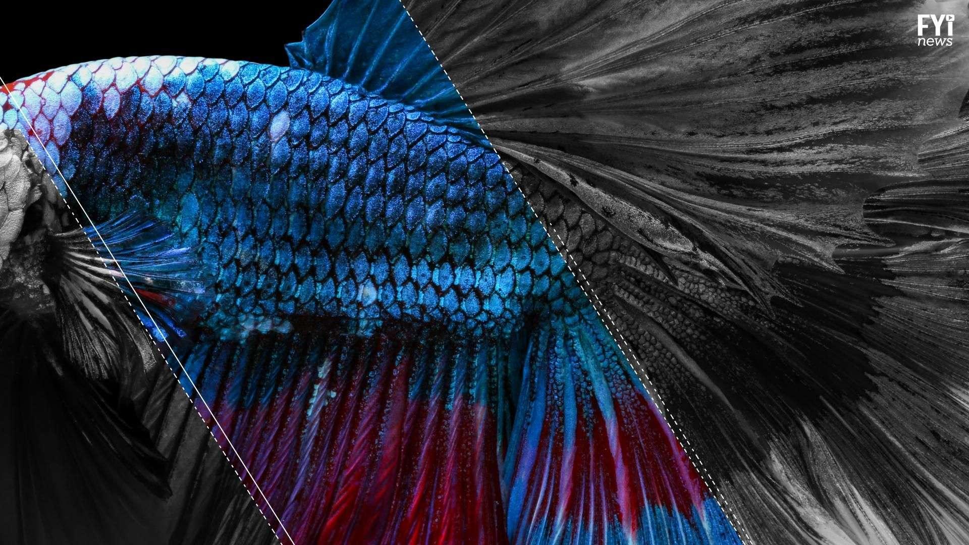 Un milagro gracias a la piel de pescado