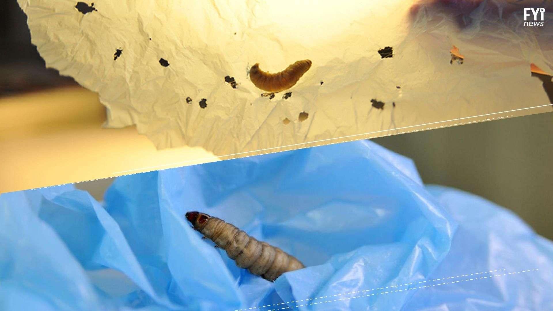 ¿Los gusanos nos salvarán de la contaminación?
