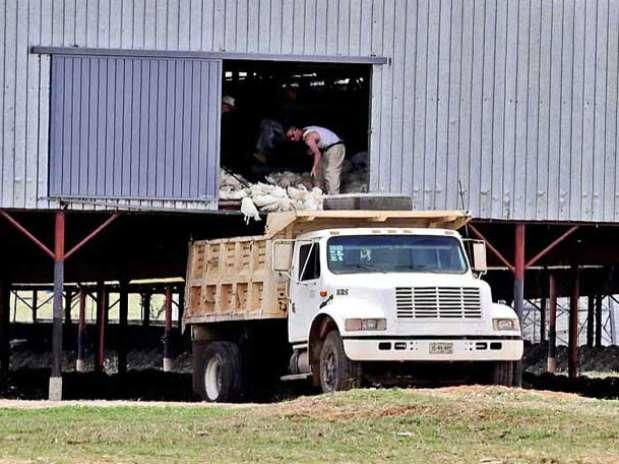 En un recorrido, REFORMA observó ayer a trabajadores sacando aves muertas de una granja en Acatic para después incinerarlas. Foto: Hugo Balcázar