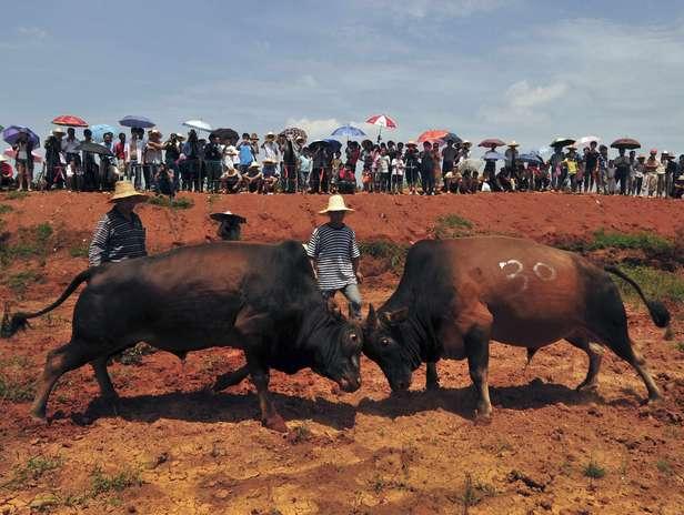 Según la tradición, durante el décimo quinto día del quinto mes lunar, los toros deben enfrentarse en una lucha a muerte que puede llegar a durar más de una hora y media.  Foto: Reuters en español