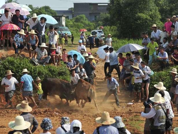 Esta tradición congrega a todo el pueblo, que espera que la sangre derramada les ayude en el futuro y disfrutar de un buen espectáculo.  Foto: Reuters en español