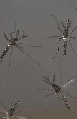 Esta foto sin fecha difundida por la compañía biotecnológica británica Oxitec muestra mosquitos machos Aedes aegypti genéticamente alterados en vuelo en una zona desconocida. La bióloga panameña Lleysa Pineda recolecta muestras de esta clase de mosquitos en las afueras de Ciudad de Oanamá para un proyecto del Instituto Gorgas, un centro de investigaciones sobre enfermedades tropicales en Panamá que quiere utilizar nuevas tecnologías para controlar el mosquito y reducir la incidencia de dengue, una enfermed Foto: Oxitec / AP