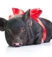 Porco, gato e robô são itens esquecidos em hotéis; veja lista
