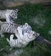 Filhotes de tigre branco em zoológico no Brasil são exibidos
