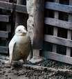 Zoo recebe raro pinguim albino, mas teme rejeição de bando