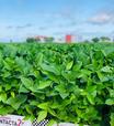 Bayer lança Intacta 2 Xtend®, nova geração de soja que busca revolucionar o potencial produtivo do Brasil