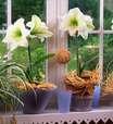 Amarílis: Como Cuidar, Tipos e Flores Lindas para Plantar no Jardim