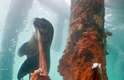 A foca faminta consegue morder e arrancar parte dos tentáculos do polvo