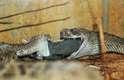 Duas cobras venenosas tentam devorar ao mesmo tempo um rato na África do Sul. As cascavéis parecem compartilhar a refeição - em uma cena remanescente do icônico beijo entre os cães do filme A Dama e o Vagabundo, da Disney, que dividiam o mesmo fio de espaguete