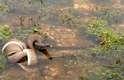 A enorme serpente venceu a batalha de vida ou morte contra o outro réptil e conseguiu engolir o crocodilo inteiro