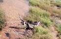 O confronto entre os dois predadores foi duradouro, e após vencer o crocodilo, a píton ainda levou horas para fazer a digestão - impressionando pessoas que passavam pelo local