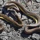 Cobra píton engole e 'vomita' serpente da mesma espécie