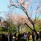 vc repórter: Festa das Cerejeiras encanta o público em SP