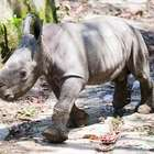 Rinoceronte huérfano da besos para agradecer cuidados ...