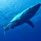 Un tiburón muerde en la mano a un bañista en una playa ...