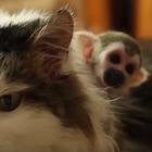 Una gata adopta a un mono ardilla rechazado por su madre ...