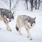 Noruega planea matar al 70% de los lobos del país