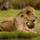 Las leonas 'transexuales' de Botsuana que asombran a los ...