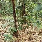 'Jardins do diabo': a árvore amazônica que abriga um ...