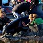Voluntários conseguem resgatar 100 baleias na Nova Zelândia