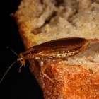 Descubren nueva especie de cucaracha con aureola