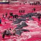Matança de baleias gera 'mar de sangue' e protestos nas ...