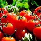 Ciência explica: por que o tomate vem perdendo sabor ao ...