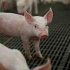 Preço da carne suína exportada pelo Brasil dispara em ...