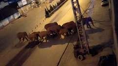 Elefantes em jornada de 500 km atravessam cidades na China