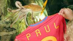 Homenageado, polvo Paul ganha camisa da Espanha