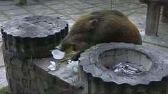Ano do Porco na China: javalis selvagens geram preocupações