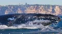 Drones são usados para monitorar saúde de baleias