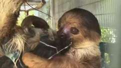 Zoológico nos EUA celebra seu primeiro filhote de preguiça
