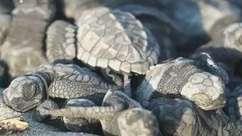 Tartarugas ameaçadas eclodem inesperadamente no Equador