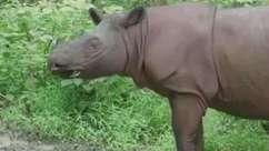 Cientistas recriam rinoceronte extinto com células-tronco