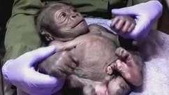 É um menino! O 1º filhote de gorila do zoológico de Boston