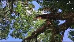 Corpo de Bombeiros é mobilizado para corte de árvore no Centro de Cascavel