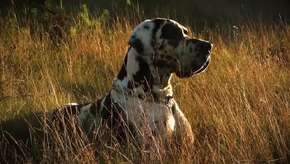 Porque os cachorros grandes são melhores