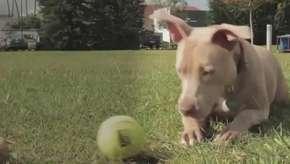 8 mentiras sobre os pitbulls que talvez você acredite