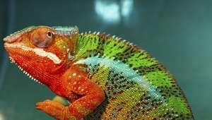 Não, camaleão não muda de cor para se camuflar! Você sabia?