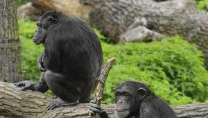 ¿Estamos cerca de vivir 'El Planeta de los Simios'?
