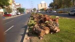 Los Olivos: Indignación por tala indiscriminada de palmeras