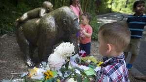 ¿Gorila sacrificado quería salvar a niño que cayó en su ...