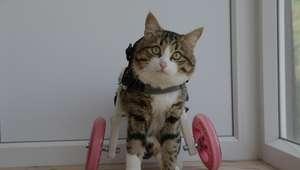 Te presentamos a Rexie el gatito que usa una silla de ...