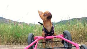 Conoce la historia de Narciso, el Chihuahua discapacitado