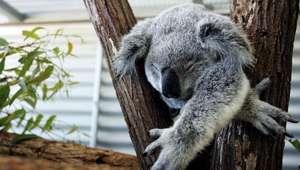 Este koala es tan adorable que va a alegrarte el día (VIDEO)